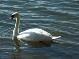 Swan2 by EnchantedByDarkness