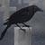 Cemetery Crow by Falln-Avatars