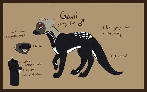 Gavii - Young Adult