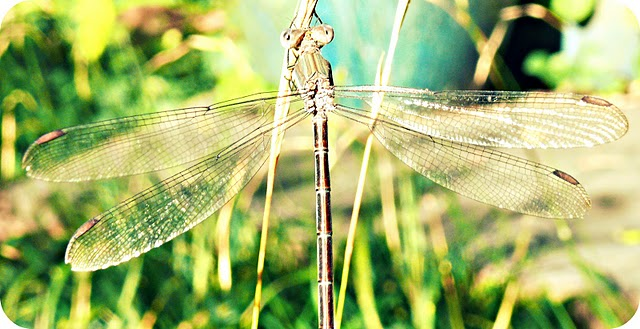 .:Dragonfly.: by yourcharmedlife