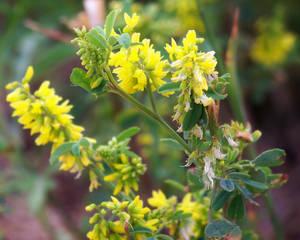 Wild Weed Yellow I