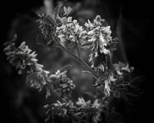 Wild Weed, Black and White