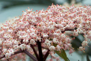 Elderberry Flowers II