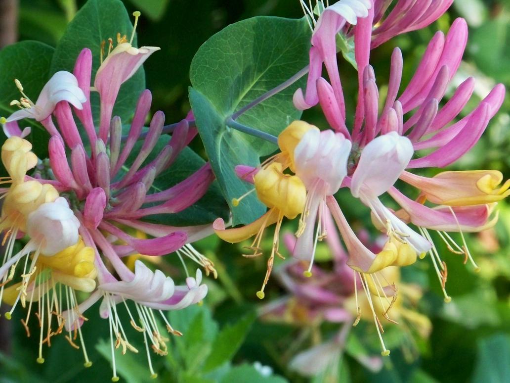 Honeysuckle Flowers II by MadGardens on deviantART