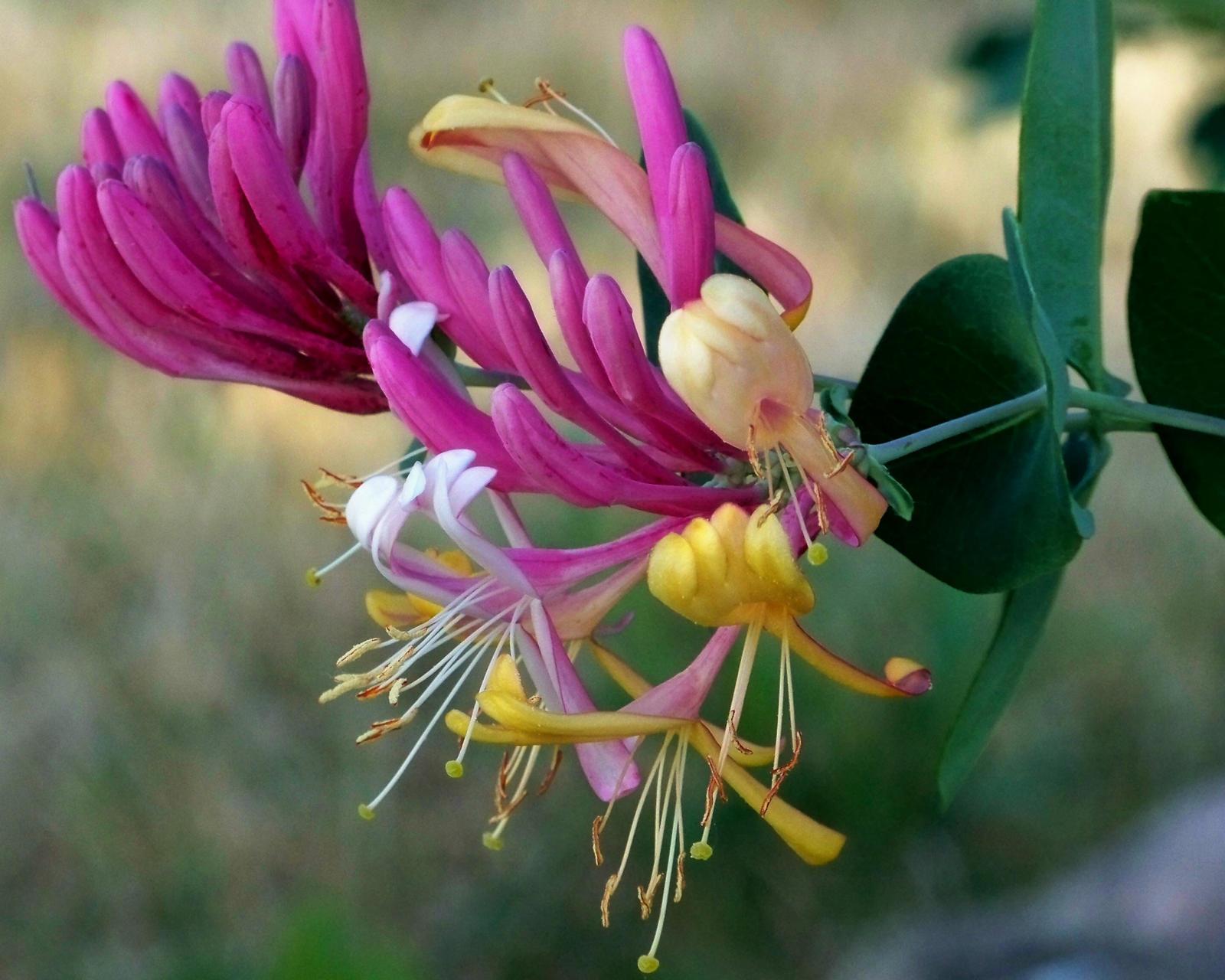 Honeysuckle Flowers III by MadGardens on DeviantArt