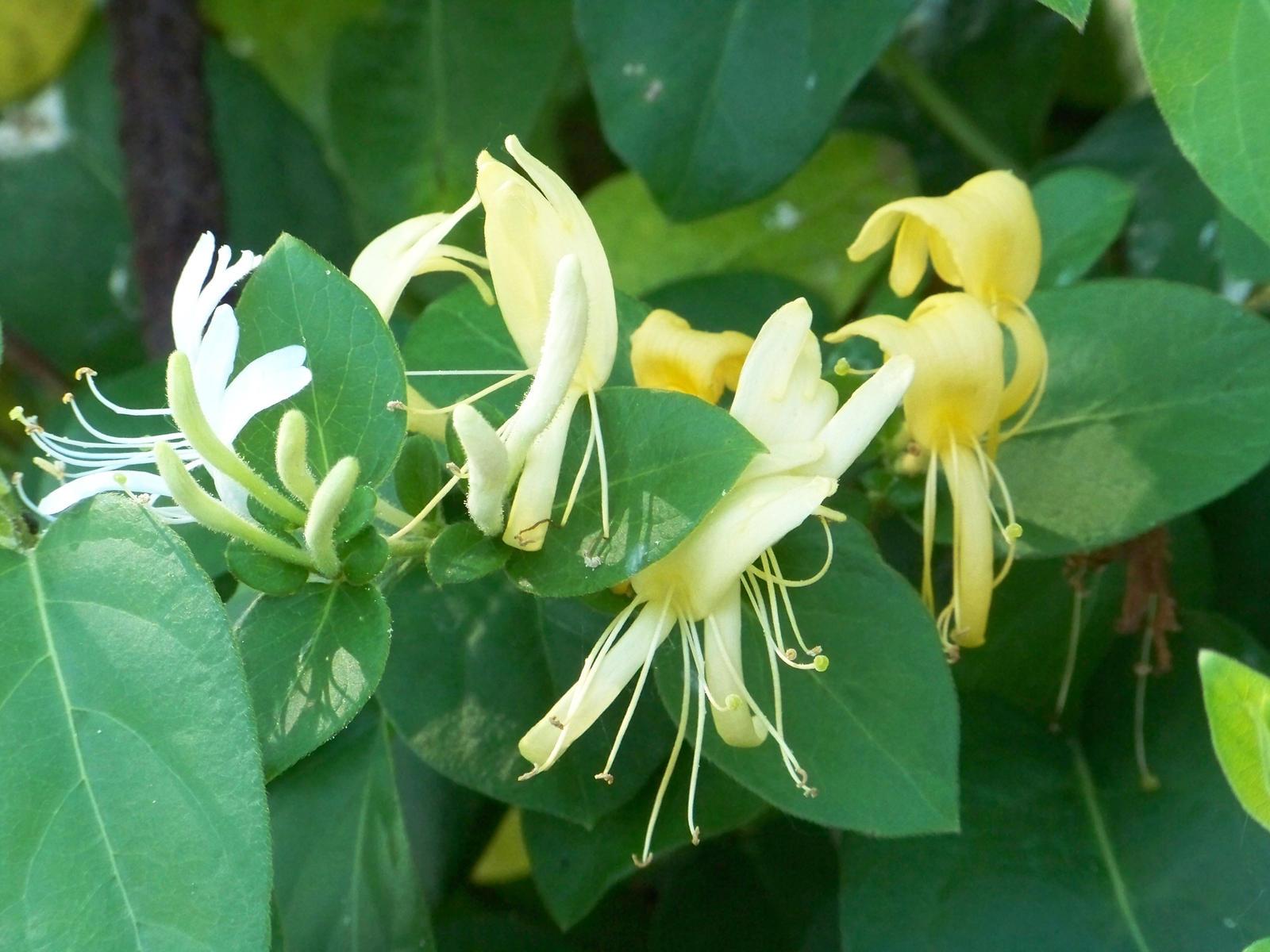 Honeysuckle Flowers IV by MadGardens on deviantART