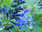 Black and Blue Sage 4
