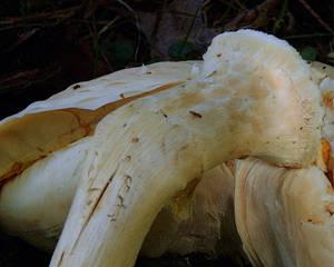 mushroom magic vi, Watchman