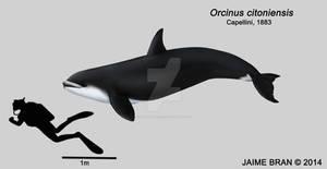 Orcinus citoniensis