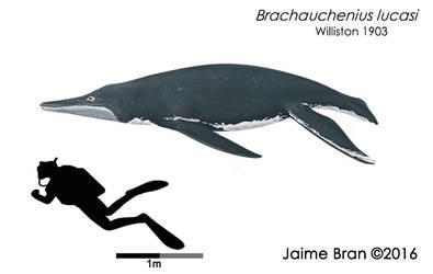 Brachauchenius lucasi