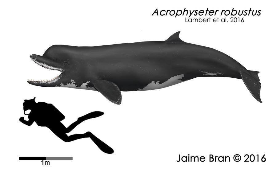 Acrophyseter robustus by Bran-Artworks