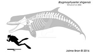 Brygmophyseter skeletal  restoration