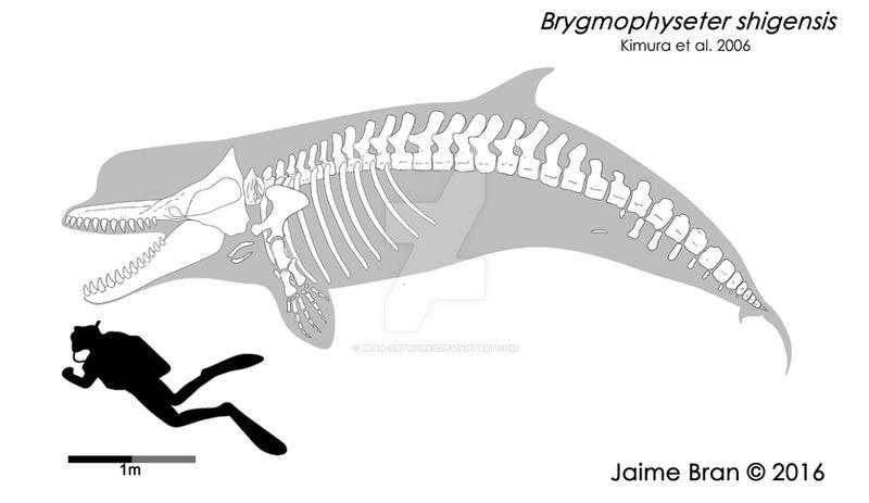 Brygmophyseter skeletal  restoration by Bran-Artworks