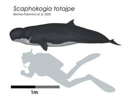 Scaphokogia totajpe scale