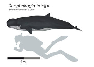 Scaphokogia totajpe scale