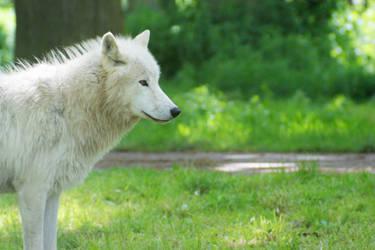 White Wolf of Denmark