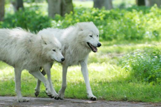 White Wolves of Denmark