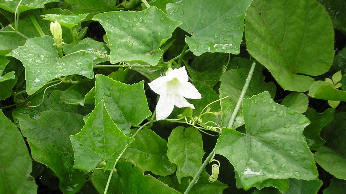 White vine flower of wild red bird cucumber by tobagojo on deviantart white vine flower of wild red bird cucumber by tobagojo mightylinksfo