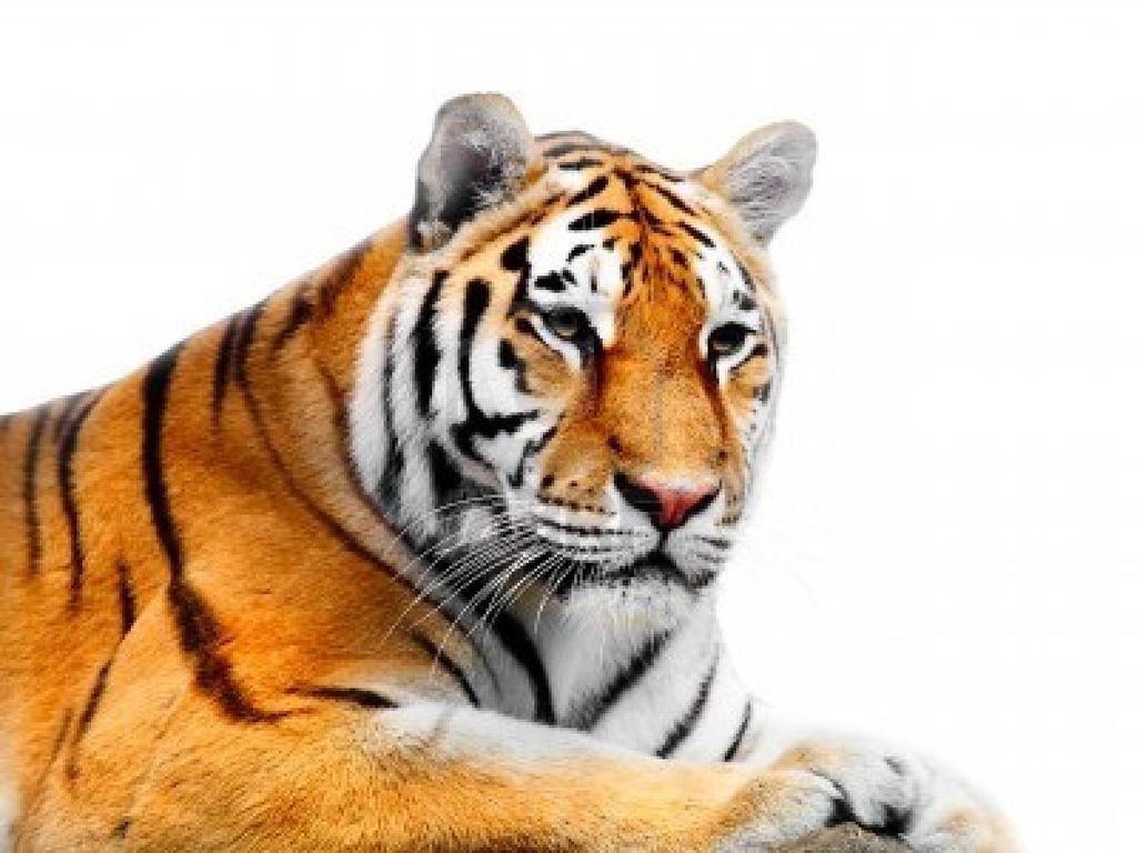White tiger background tumblr - photo#10