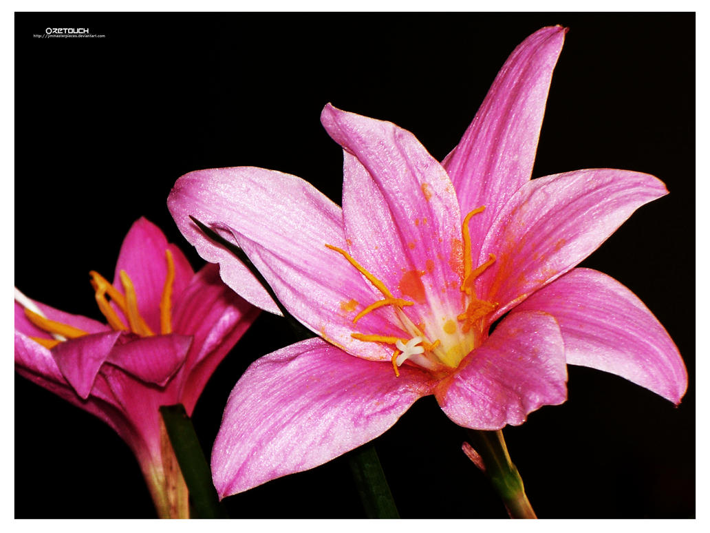 Two Pink Flowers by Jimmasterpieces