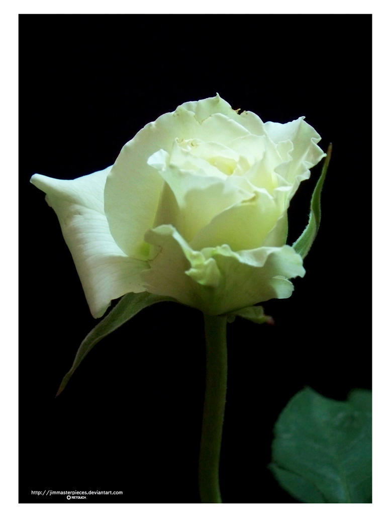 whitte rose in bloom by Jimmasterpieces