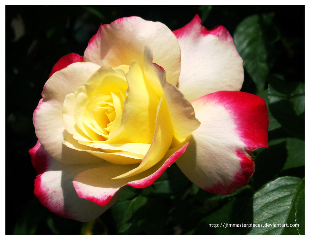 lovely rose in my garden by Jimmasterpieces