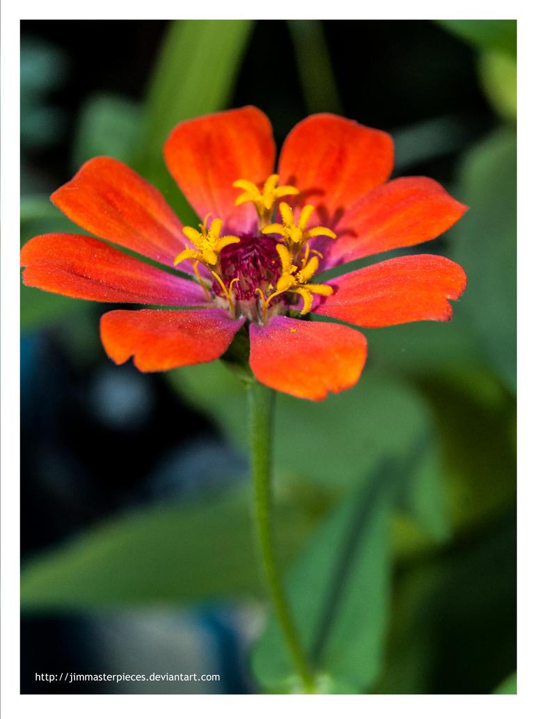 Zinnia elegans orange! by Jimmasterpieces