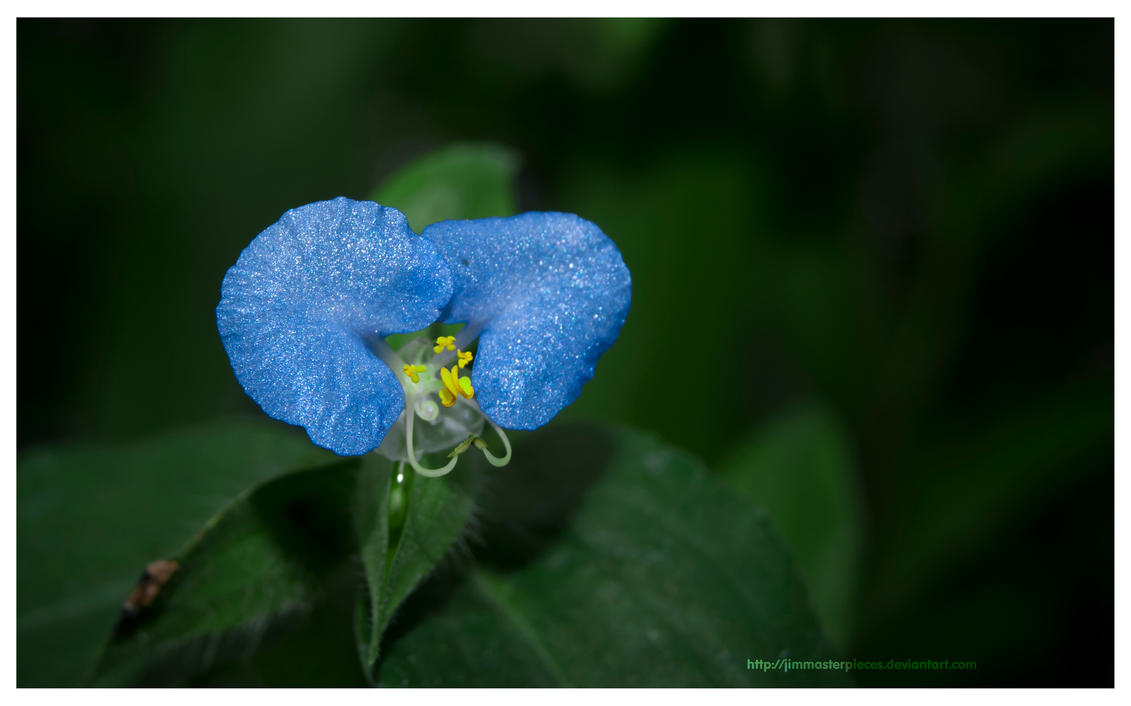 Commelina diffusa by Jimmasterpieces