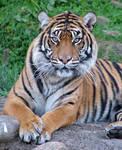 Tiger by AlaskanWildfyre