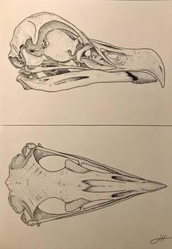Bearded Vulture Skull