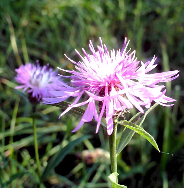 Цветы центурия