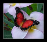 Butterfly - Red on White -