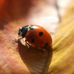 Ladybird by Elwing-Isiliel