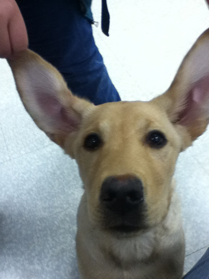Small Dog With Huge Ears