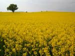 Lonely Tree in a sea of yellow