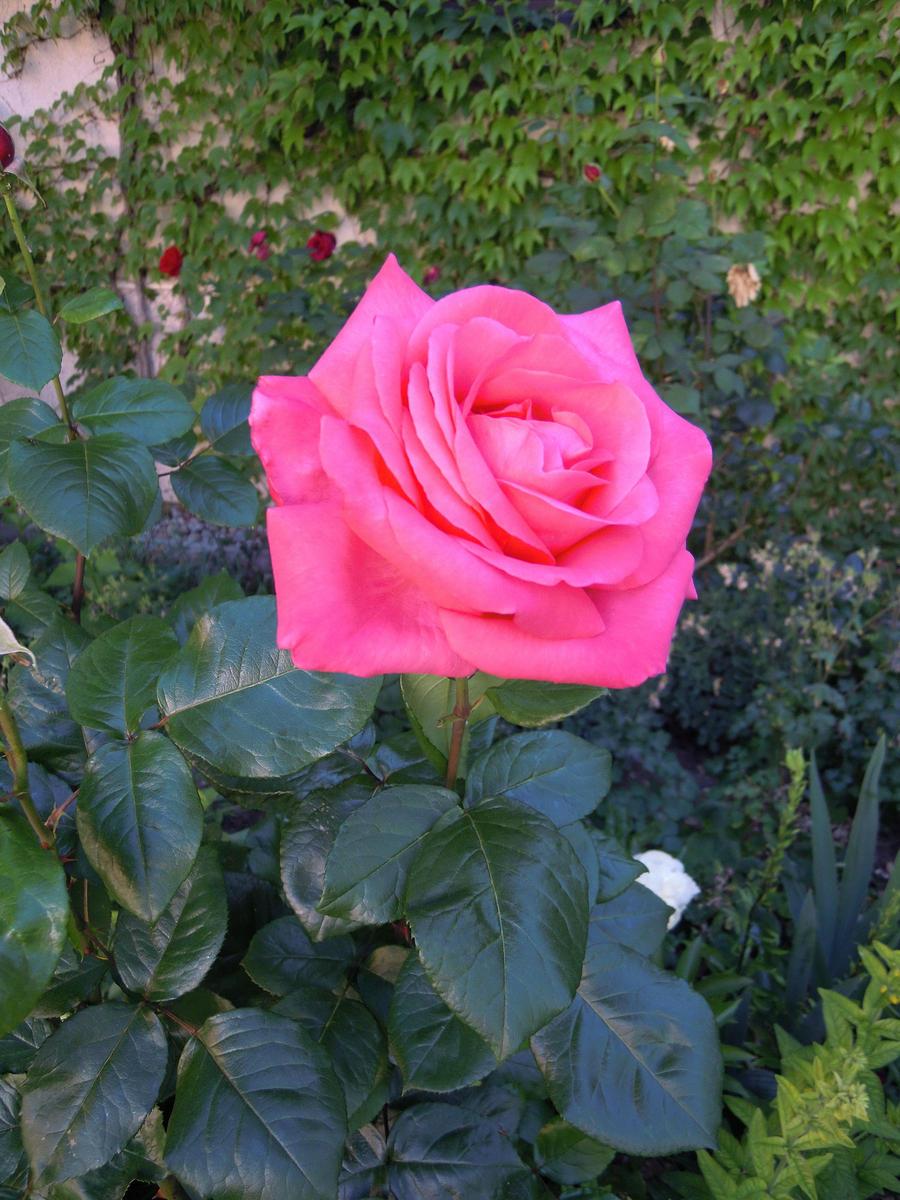 Stock pink rose by hoshitsu