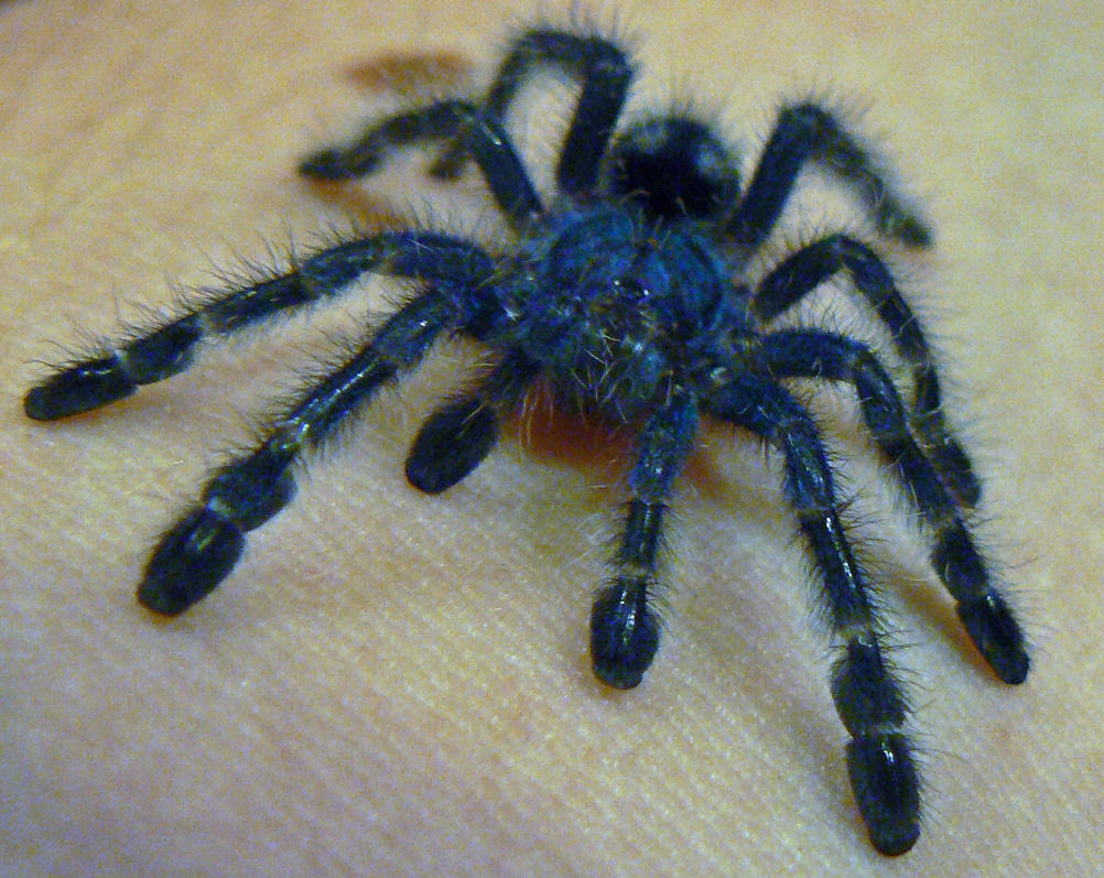 Tarantula Babies on Back Baby Tarantula by Son of Italy