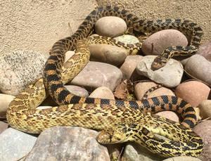 Sunbathing serpent sisters
