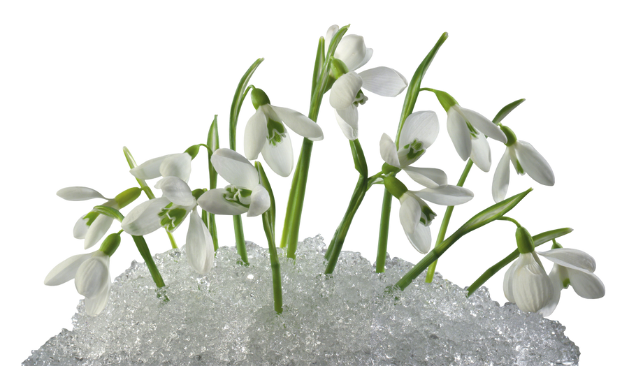 Snowdrops by flashtuchka