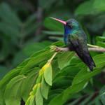 Resting Hummingbird by CJStreva