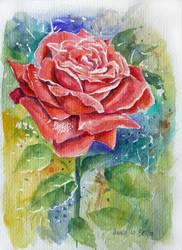 rose 4 by annalobello