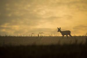 Roe deer before sunrise by michalfrgelec