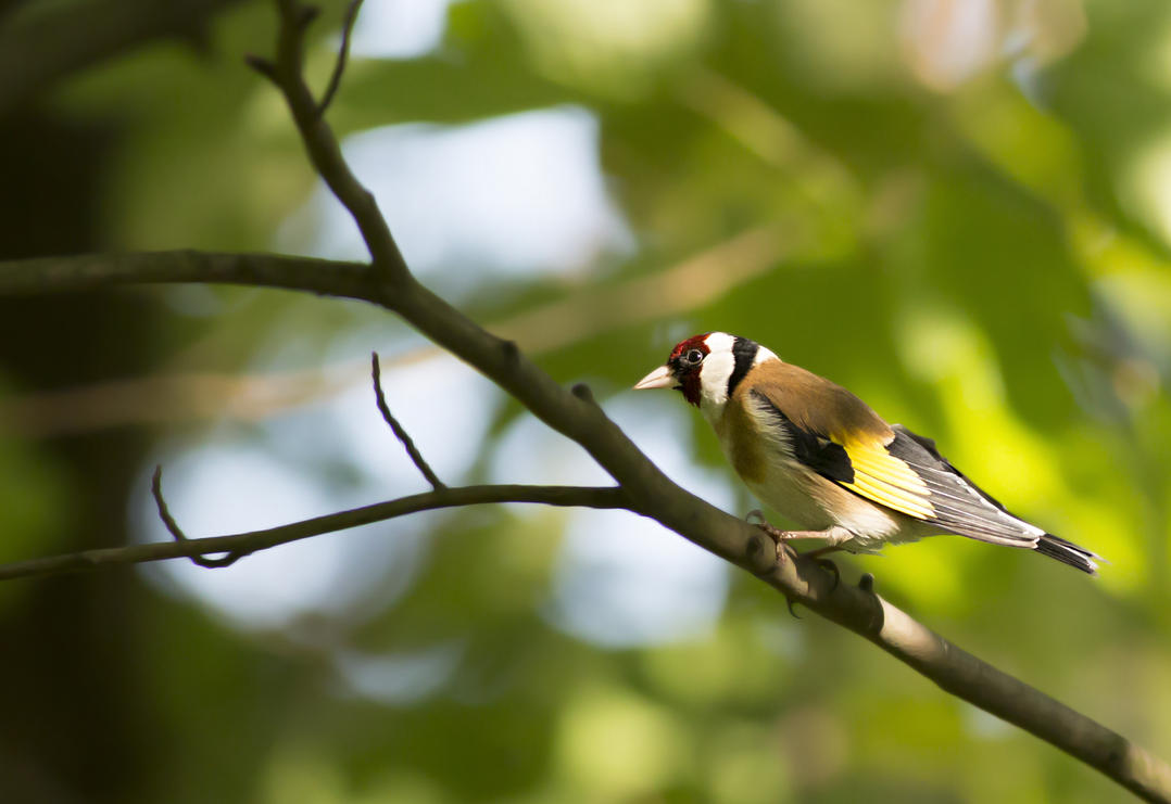 Goldfinch by michalfrgelec