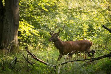 Red deer by michalfrgelec