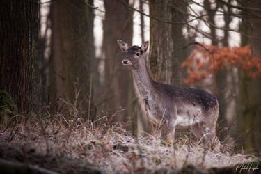 Fallow deer by michalfrgelec