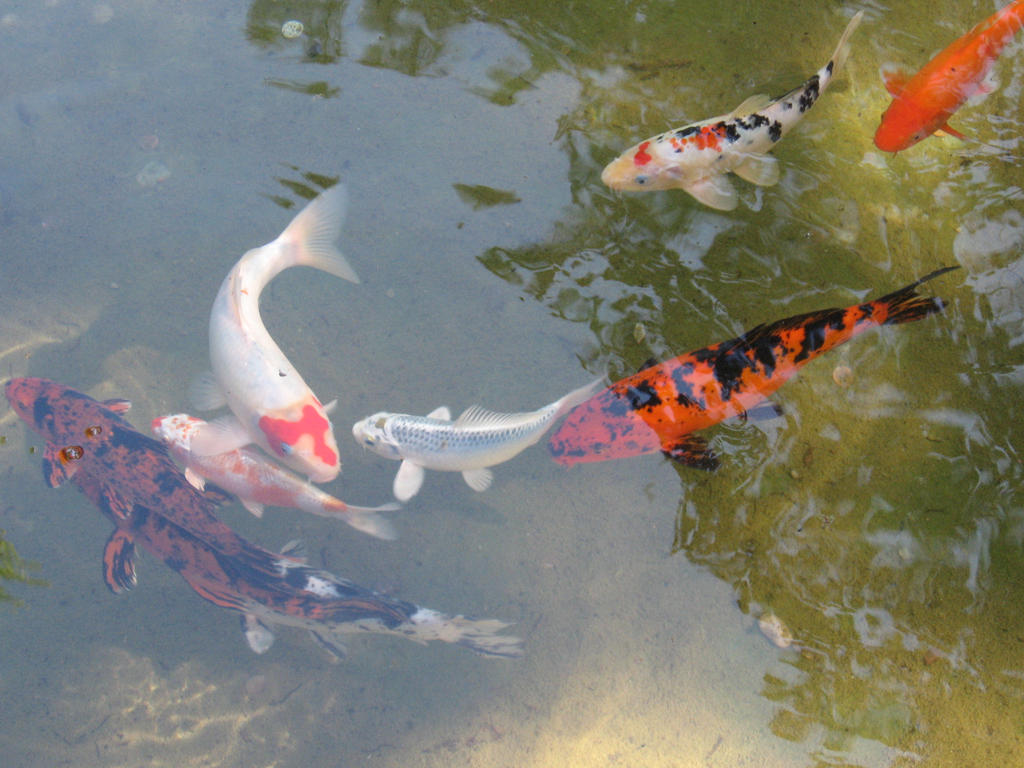 Koi fish drawing wallpaper for Japan koi wild