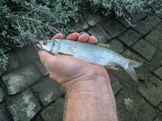 Aspius aspius 23cm long by slingeraar