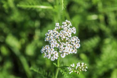 White plant by slingeraar