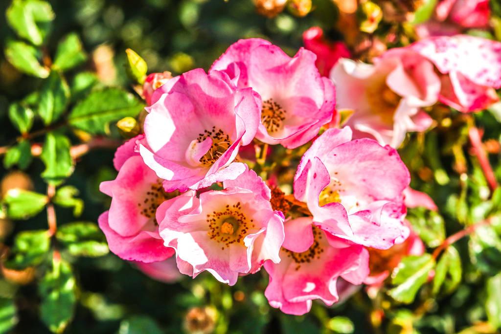 Roses by slingeraar