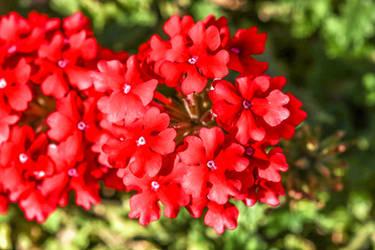 Red plant and flowers by slingeraar